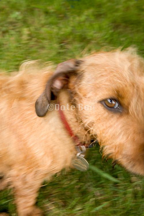 little dachshund dog making eye contact