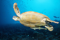 A Green Sea Turtle cruises in the blue, with a diver looking on from above<br /> <br /> Shot in Indonesia