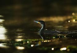Great Cormorant (Phalacrocorax carbo) in Lake Naivasha, Kenya