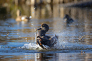 A gadwall (Anas strepera) uses its wings to splash water so it can bathe on one of the Promontory Ponds in Magnuson Park, Seattle, Washington.