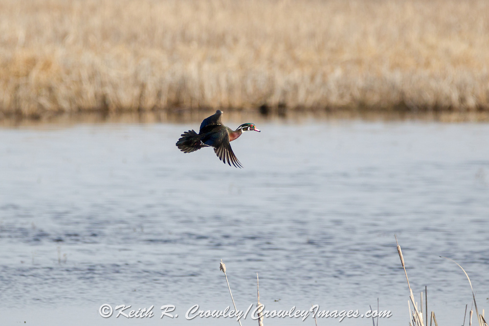 Woodduck drake in flight