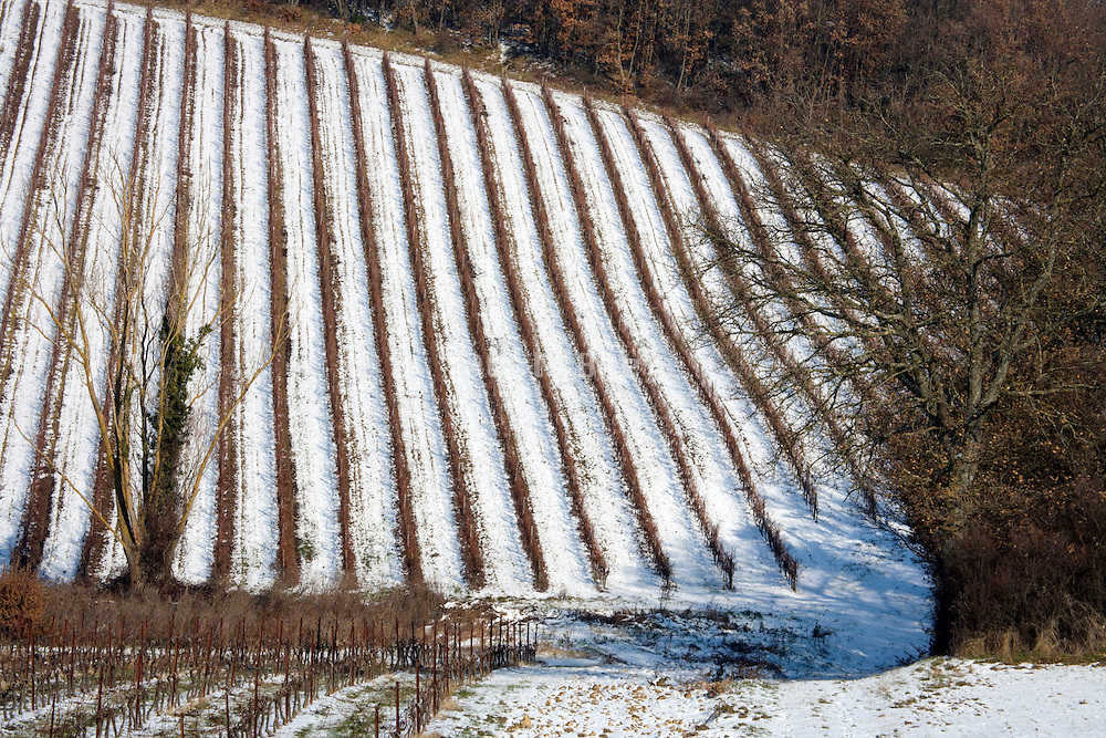 grapevines in winter with snow on the ground
