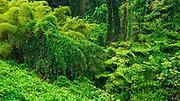 Lush vegetation at Akaka Falls State Park, Hamakua Coast, The Big Island, Hawaii USA
