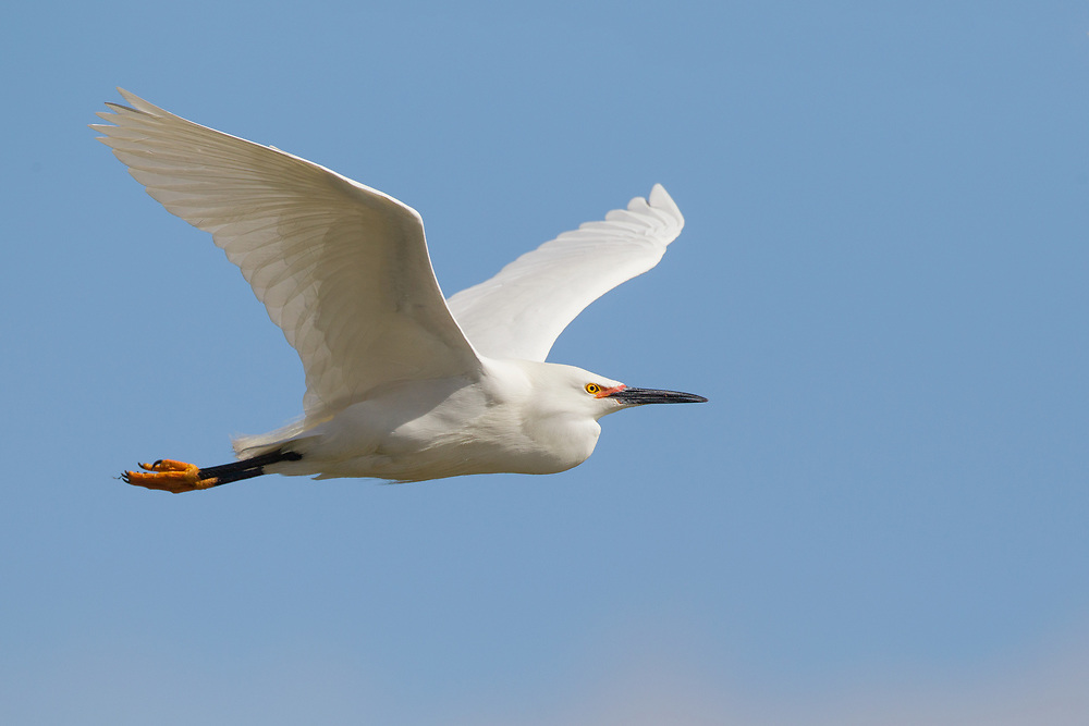 Stock Photo of Snowy Egret captured in Colorado.  Egrets nest in trees, bushes and marshes.