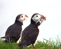 Pair of Puffins After a Successful Fishing Trip. Cape Ingolfshofdi (ingólfshöfði) a private nature preserve on an isolated headland on the coast half way between Skaftafell in Vatnajokull National Park and Jökulsárlón ice lagoon in Iceland. Image taken with a Nikon D4 and 80-400 mm VR II lens (ISO 720, 330 mm, f/5.6, 1/1000 sec). Nikonians Academy Iceland Photo Workshop with Mike Hagen and Tim Vollmer.