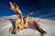 Fresh snows blankets the slopes of the White Mountains, framing the ancient bristlecone pines that live there