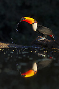 Toco Toucan<br /> Ramphastos toco<br /> Drinking<br /> Pantanal, Brazil