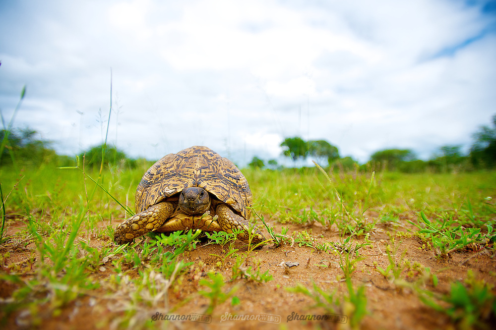 The Leopard tortoise (Stigmochelys pardalis) is a large and attractively marked tortoise found in the savannas of eastern and southern Africa, from Sudan to the southern Cape.