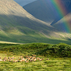 Members of the Porcupine Caribou Herd enter the mountain valleys in the Arctic Refuge, where they find lush vegetation. Caribou are constantly feeding even while migration in order to gain enough weight for the meager winter months. Arctic Refuge, Brooks Range, Alaska