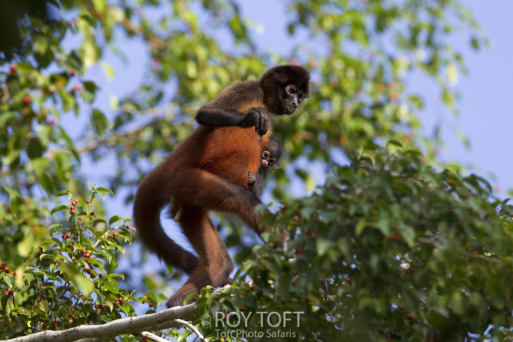 Spider monkey (Ateles geoffroyi), Osa Peninsula, Costa Rica