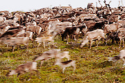 CANADA, Nunavut.Pan blur of a barren-ground caribou (Rangifer tarandus groenlandicus) herd during the migration