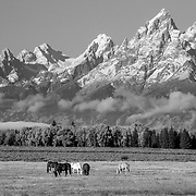 Horses graze in a meadow below Grand Teton and the Teton Range.