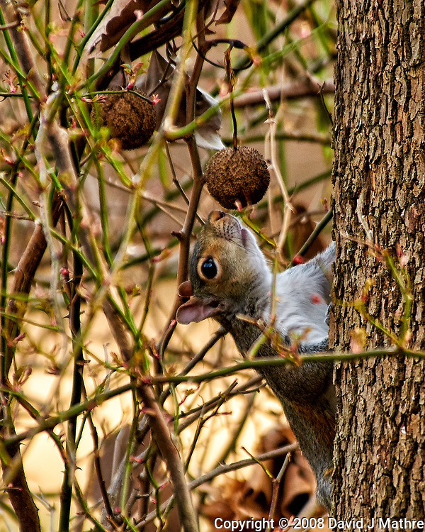 Squirrel checking out a sycamore seed. Late winter backyard nature in New Jersey. Image taken with a Nikon D300 camera and 80-400 mm VR lens (ISO 640, 400 mm, f/5.6, 1/250 sec).