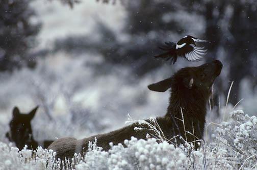 Elk (Cervus elaphus) cow resting while a black-billed magpie flies off of her back.