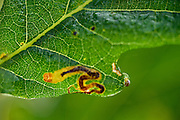 Leaf miner moth larvae (Stigmella sp) mine on oak tree leaf. Niedersechsische Elbtalaue Biosphere Reserve, Elbe Valley, Lower Saxony, Germany | Miniermotte (Stigmella sp.)
