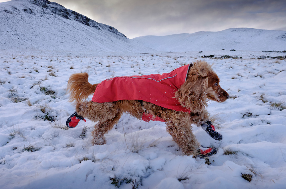 Sophie, 8 year old Cocker Spaniel demonstrates the use of the Ruffwear winter wear for dogs. Photographed in the Pentland Hills near Edinburgh.<br /> <br /> Photograph by Mike Wilkinson<br /> <br /> Copyright photograph by Mike Wilkinson<br /> Contact Mike on 07768 393673<br /> mike@mike-wilkinson.com<br /> www.mike-wilkinson.com<br /> http://mike-wilkinson.photoshelter.com