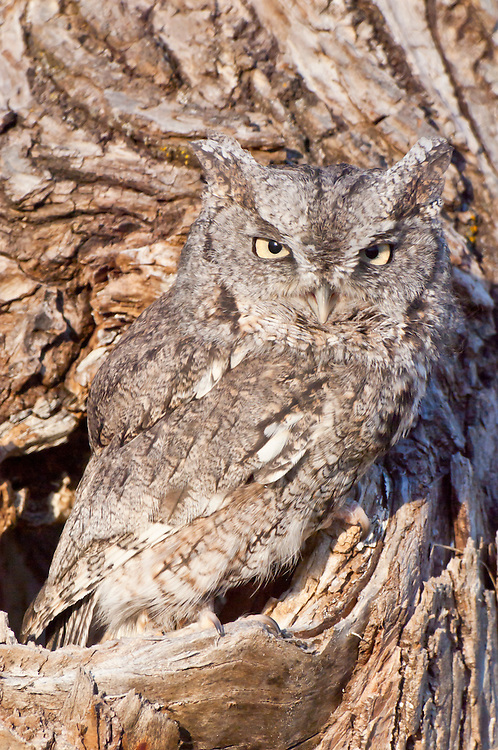 Eastern Screech Owl, Megascops asio, native to eastern North America.