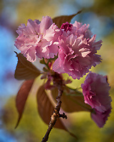 Pink Plum Tree Flowers. Image taken with a Leica CL camera and 60 mm f/2.8 lens (ISO 100, 60 mm, f/2.8, 1/125 sec)
