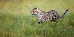 July 21, 2019 - Cheetah (Acinonyx Jubatus), Running, Serengeti National Park, Tanzania, Africa (Credit Image: © Carson Ganci/Design Pics via ZUMA Wire)