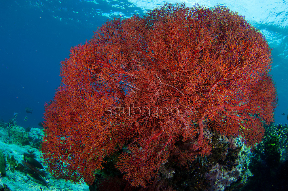 A large red sea fan on reef in clear blue waters, Sipadan, Sabah, Malaysia, Borneo.