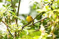 A male Wilsons Warbler a yellow feathered bird with a black cap on its head this bird summers in the western United States.