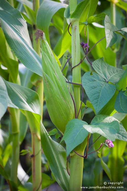 Companion planting of Sweetcorn 'White' with French Bean 'Blauhilde'