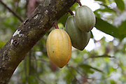 Healthy Cocoa pods growing on a tree in Ghana. When the pod turns yellow it is ready for harvesting. All of Ghanas Cocoa is harvested by hand with machete's.