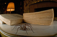 Male house spider walking in books (Tegenaria atrica), Switzerland Image by Andres Morya