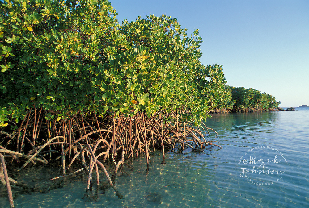 Mangroves, Lizard Island, Queensland, Australia