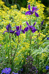 Iris 'Pansy Purple' with Euphorbia ceratocarpa.