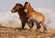 Takhi in winter coats, Przewalski horses, Equus przewalski,  reintroduced from Europe, winter snow in Hustai National Park, Mongolia,