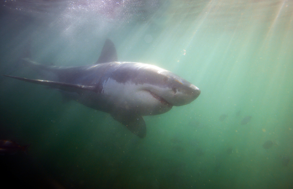 Great white shark (Carcharodon carcharias) underwater in Mossel Bay, South Africa