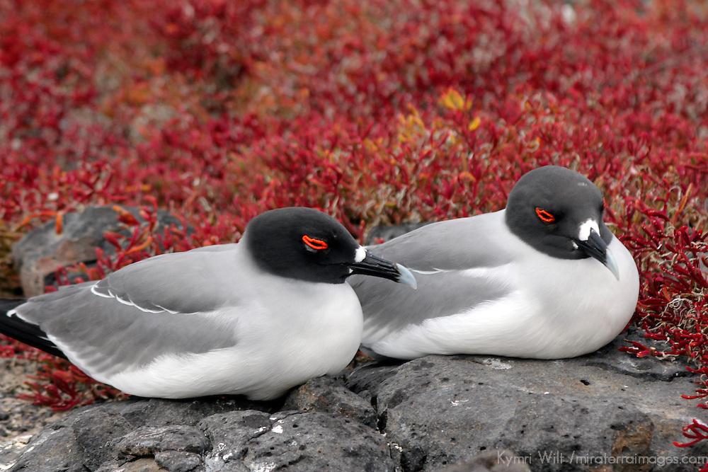 South America, Ecuador, Galapagos, South Plaza Island. Swallow-tailed Gull of the Galapagos.
