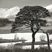 Scots Pine, Stob Ghabhar and Black Mount, Loch Tulla, Argyll