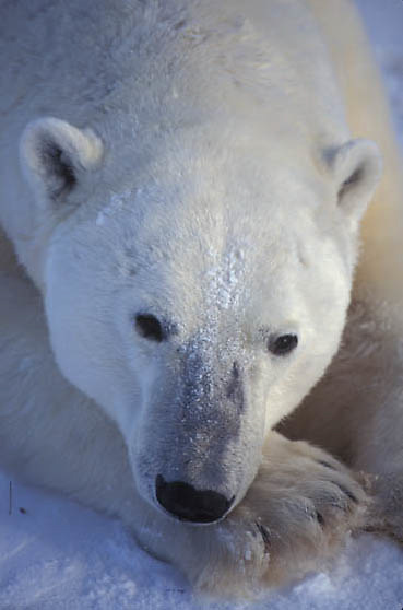 Polar Bear, (Ursus maritimus) Large male resting. Churchill, Manitoba. Canada.