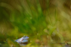 Moor Frog (Rana arvalis), male   Moorfrosch (Rana arvalis), maennlich zur Laichzeit