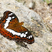 The Commander Butterfly (Moduza procris milonia)