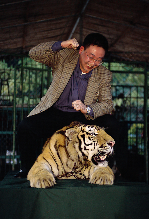 Chained Tiger used to pose for Tourist Photographs<br />Panthera tigris<br />Xishuangbanna, Yunnan.  CHINA.
