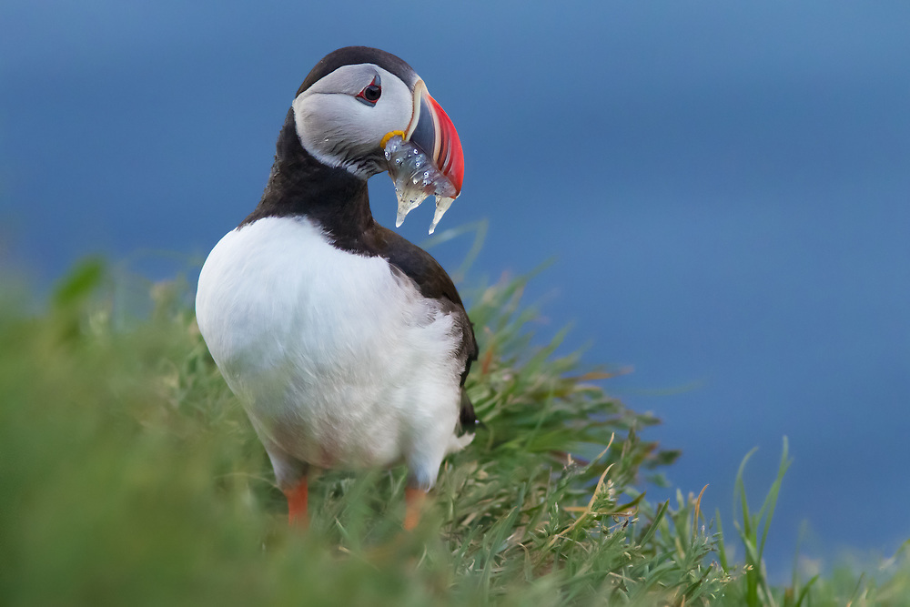 Atlantic Puffin @ Bakkagerdi ICELAND