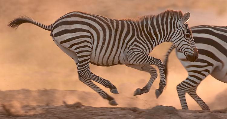 Zebra running with herd in Tarangire National Park