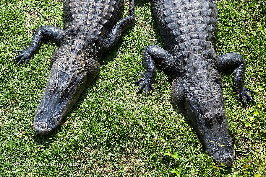 Aliigators sunning themselves in Everglades National Park, Florida, USA