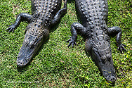 Aliigators sunning themselves in Everglades National Park, Florida, USA