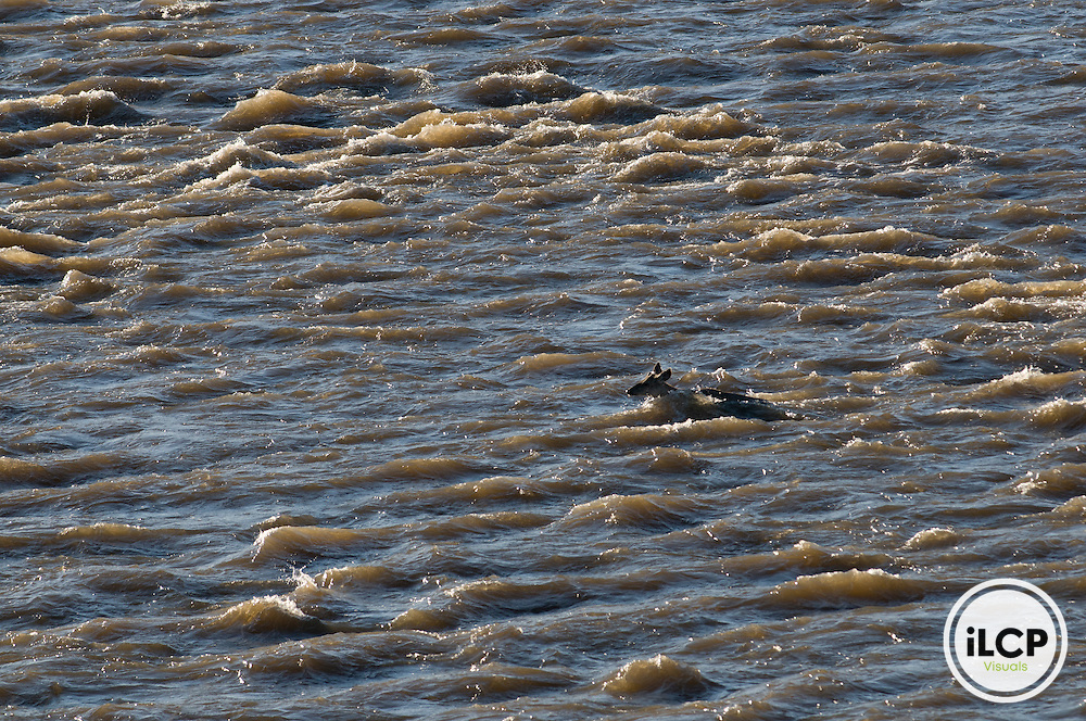 A mule deer (Odocoileus hemionus) swims through rapids on the Green River, Wyoming.