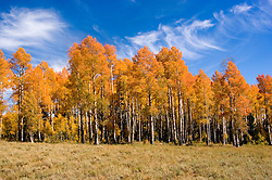 Golden Aspen leaves, aspen trees in fall, white bark, autumn, fall leaves, Markagunt Plateau, Cedar Mountain, Hwy 132, Mile Marker 24, Dixie National Forest, Utah, UT, Image ut318-18900, Photo copyright: Lee Foster, www.fostertravel.com, lee@fostertravel.com, 510-549-2202