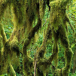Hoh Rain Forest, Olympic National Park, WA. Rainforests. Twisted branches covered with moss.