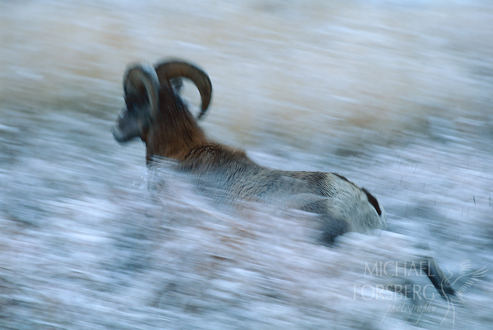 Bighorn Sheep - Custer State Park, South Dakota.  A bighorn ram bursts through the prairie at daybreak shortly after an early October snowstorm blanketed the southern Black Hills. Leader of the pack, a dozen other rams will soon follow close behind. Bighorn sheep once were common in the Black Hills and surrounding prairies. By the early 1900's they were nearly extirpated in the Great Plains. With reintroduction programs and much attention by biologists, today they thrive once again in the wild, but only in small, closely monitored herds in parts of their historic range.