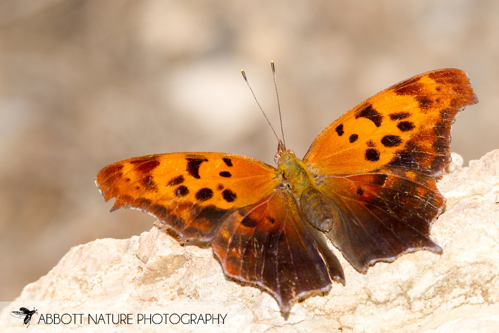 Question Mark - Hodges#4420 (Polygonia interrogationis)<br /> United States: Texas: Midland Co.<br /> The I-20 Wildlife Preserve and Jenna Welch Nature Study Center<br /> Midland<br /> 10-Aug-2017<br /> J.C. Abbott #2972