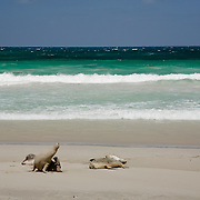 Sea lions rest on the white sand of Seal Bay. Kangaroo Island.