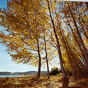 Yellow falling leaves of poplar trees.