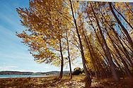 Yellow falling leaves of poplar trees.